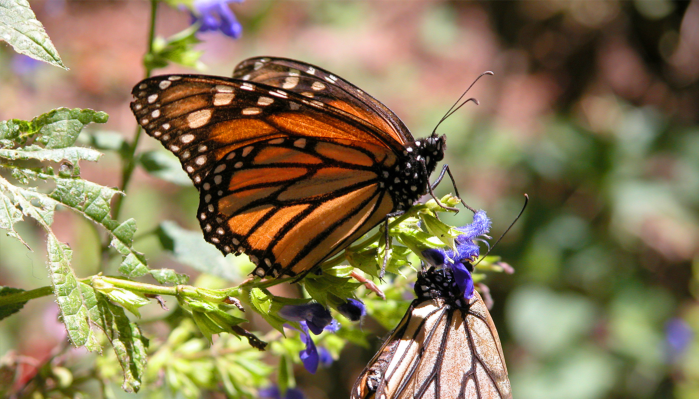 In the land of the Monarch butterfly